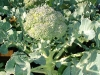 broccoli-winter-crop-in-20lit-bag