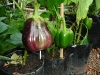 brinjal-greenpepper-in-5lit