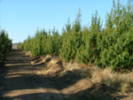 Young Pine plantations